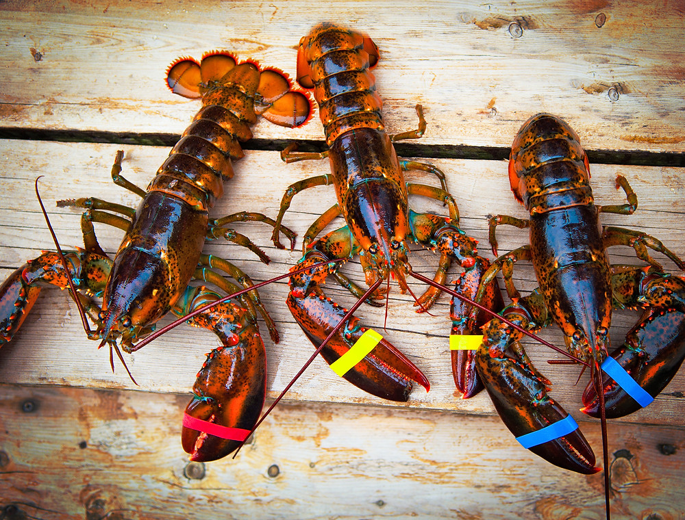 LIVE LOBSTER PHOTO