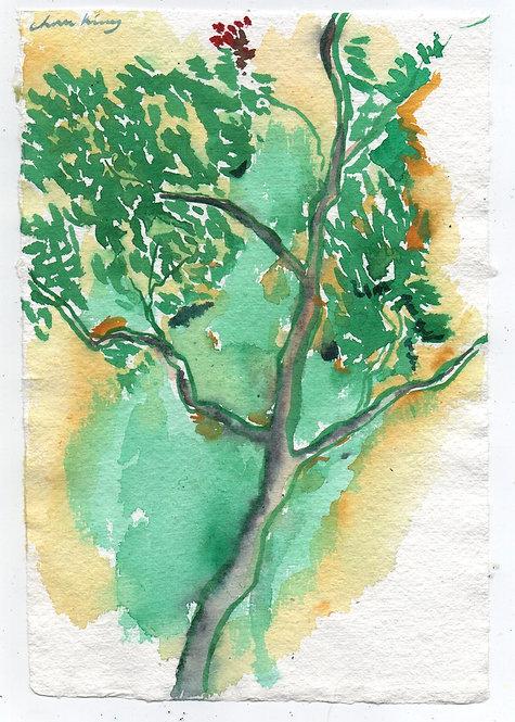Growing Maple