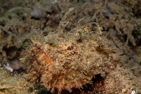 Drachenkopf / Scorpionfish / Scorpaenopsis
