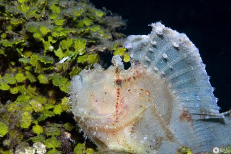 Schaukelfisch / Leaf fish / Taenianotus