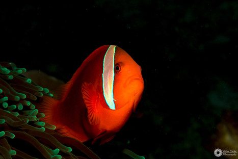 Rotflossenanemonenfisch