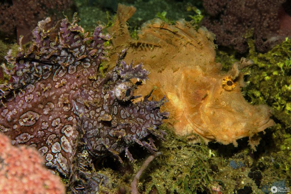 Tentakle-Skorpionfisch / Weedy scorpionfish / Rhinopias frondosa