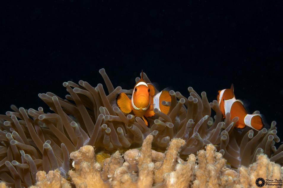 Clarkanemonenfisch