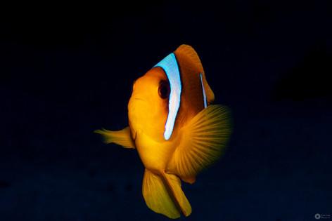 Rotmeeranemonenfisch / redseaanemonenfish
