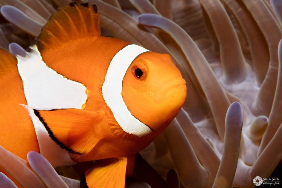 Clacksanemonenfisch