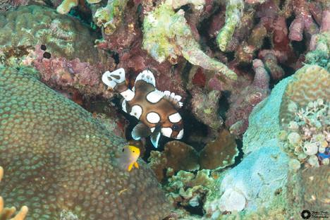 Baby Süsslippenfisch