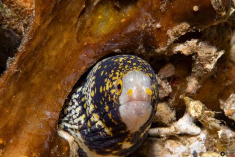 Ringelmuräne / Barred moray / Echidan polyzona