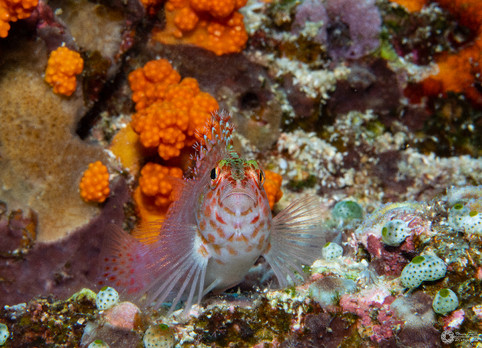 Gefleckter Büschelbarsch / Spotted hawkfish / Cirrhitichthy oxycephals