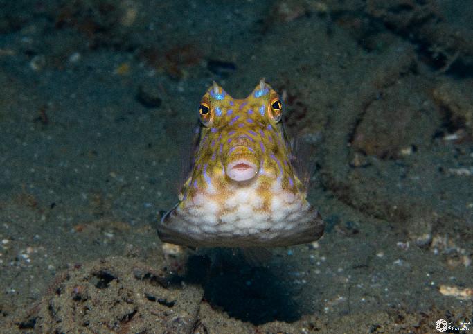 Dornrücken-Kofferfisch / Thornback boxfish / Lactoria fornasini