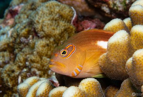 Monokel-Büschelbarsch / Monovle hawkfish / Paracirrhtes arcaatus