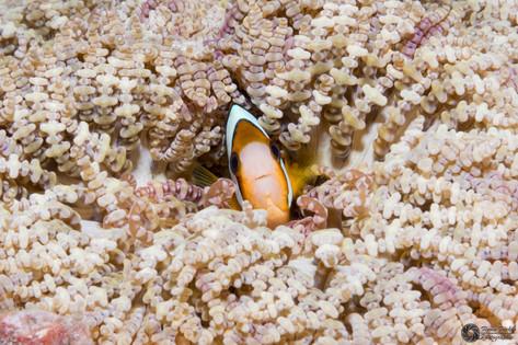 Clarksanemonenfisch