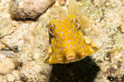 Dornrückenkofferfisch