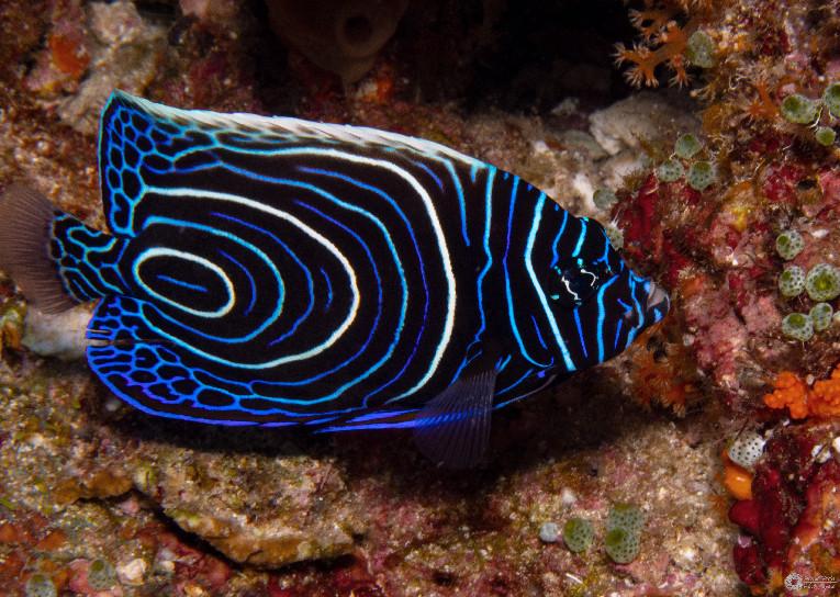 Imperator-Kaiserfisch / Emperor angelfish / Pomacanthus imperator