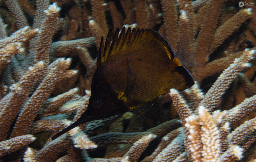 Langmaul-Pinzettfisch / Big long.nose butterflyfish / Forcipiger longirostris