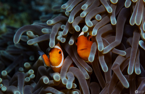 Anemonenfisch-Art / Anemonenfish species / Amphiprion sp.