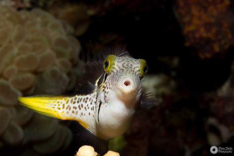 Kronenkrugfisch