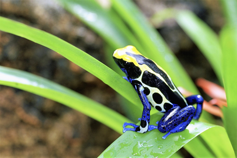 costarica_55844876_grenouille
