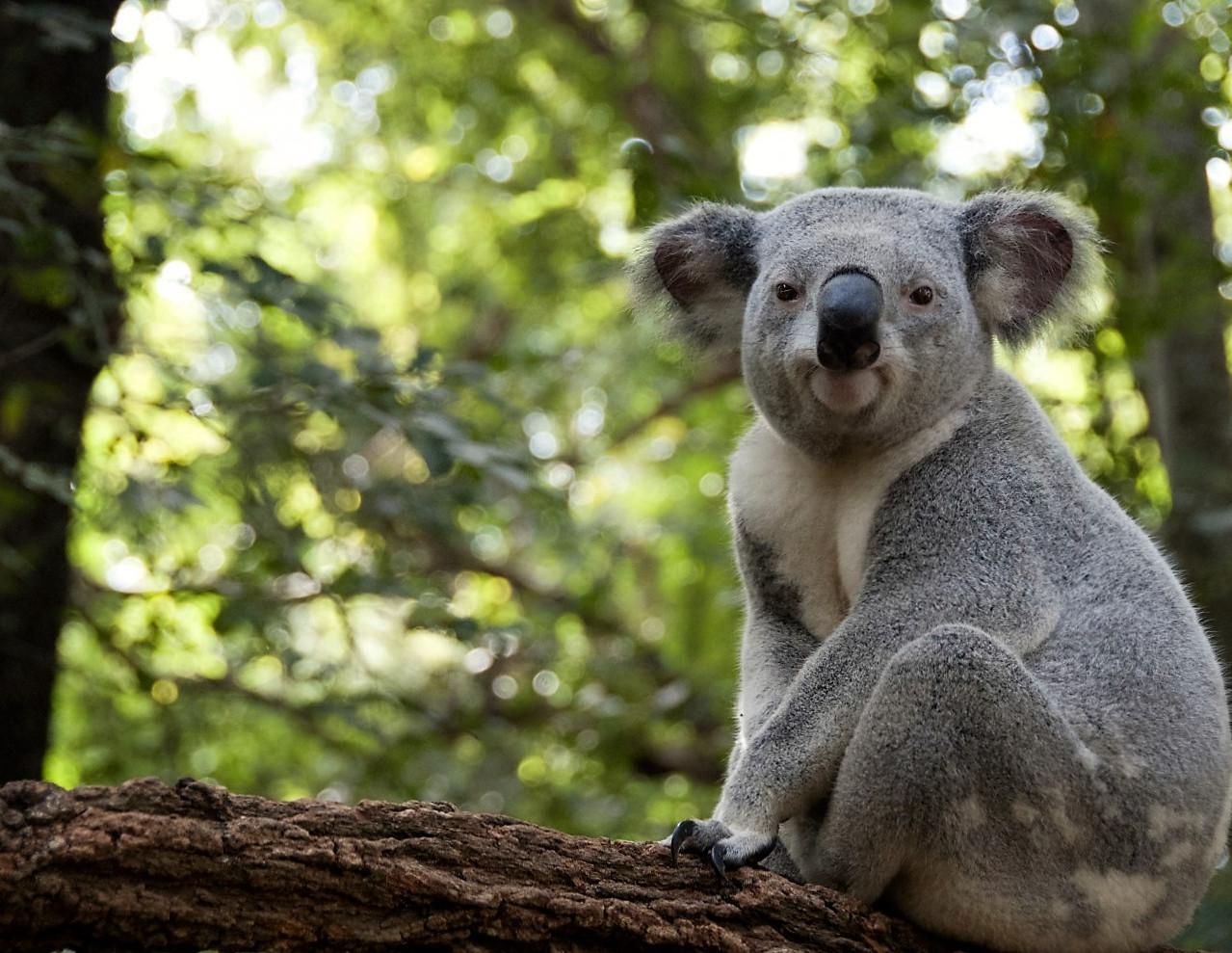 australie_101842198_koala
