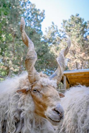 Витороги Овце