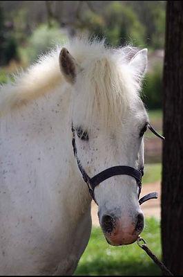 poney hongre rafal | Club Hippique du Quercy