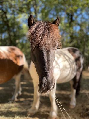 poney hongre shetland velour | Club Hippique du Quercy