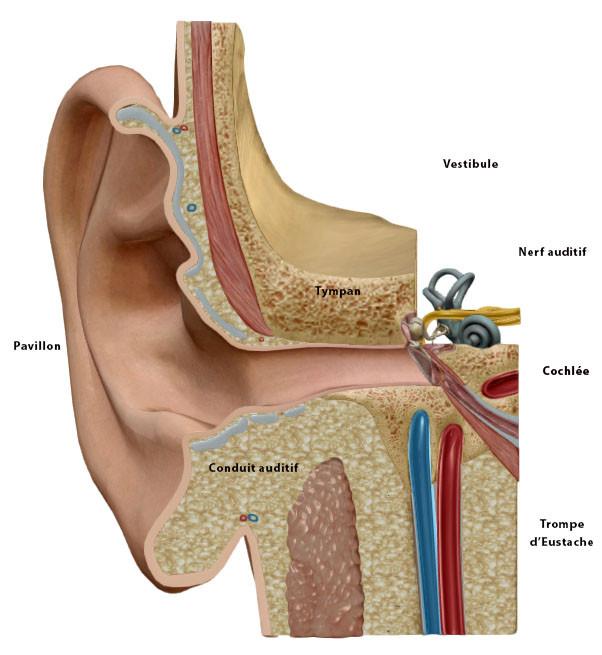 anatomie oreille interne