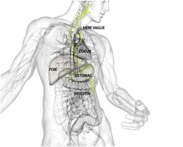 Organes innervés par le nerf vague