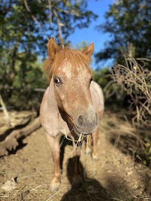 poney jument shetland nikita | Club Hippique du Quercy