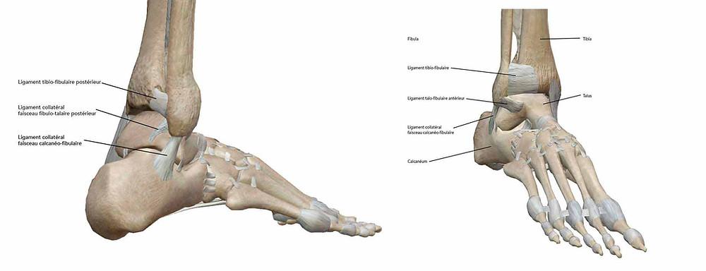 ligaments de la cheville touchés lors d'une entorse