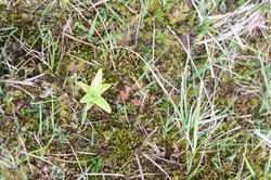 Butterwort