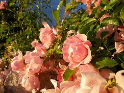 rose Chédigny | cours de jardinage Luzillé | apprendre àà jardiner