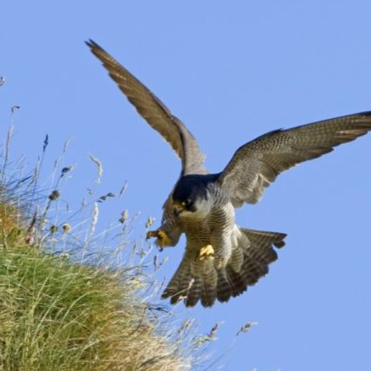 Peregrine Falcons Q & A with John Lusby