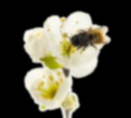 Abeille butine fleur.png