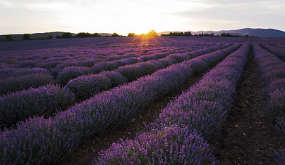 lavender-4089222_1920.jpg