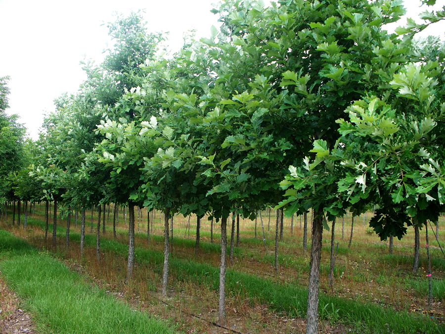 swamp-white-oak