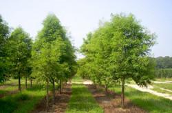 bald-cypress-row