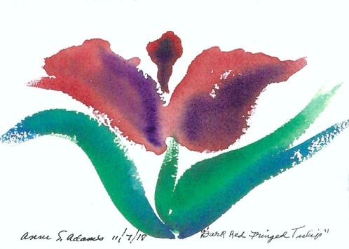 Dark Red Fringed Tulip_1