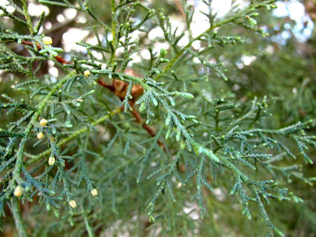 carolina-sapphire-arizona-cypress