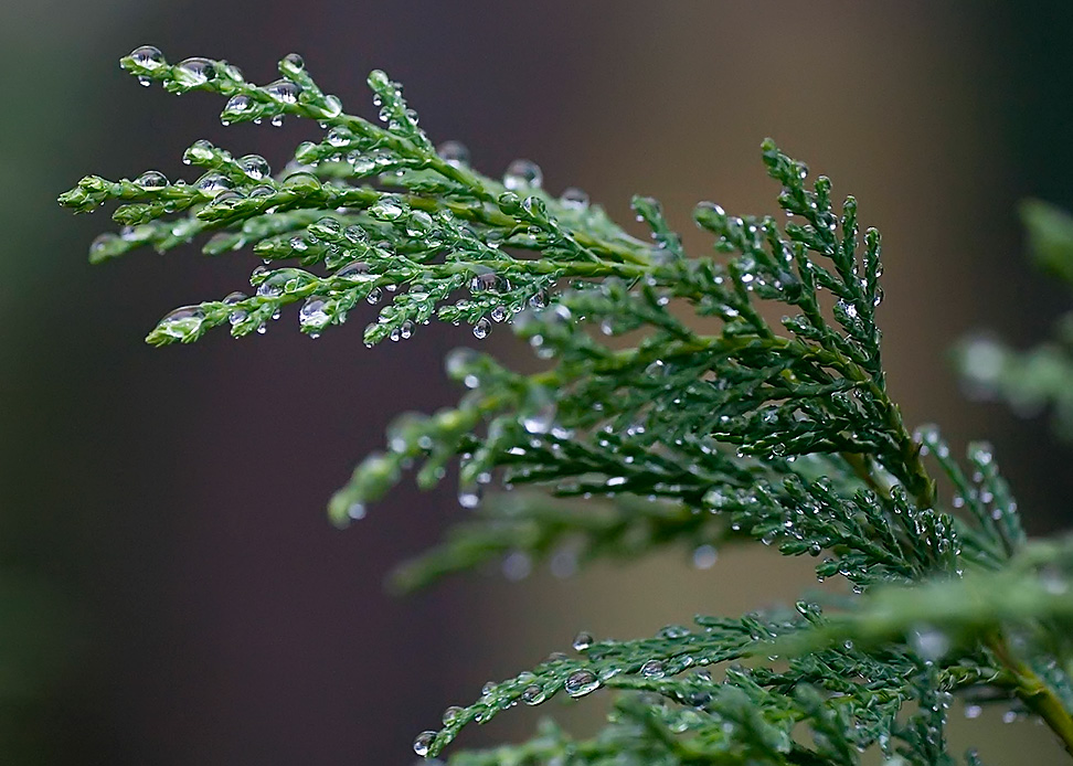 Leyland-Cypress-Needles-Czechmate-on-Wikimedia-Commons-CC-BY-SA-3