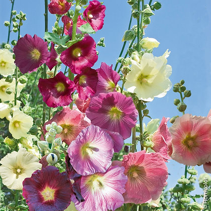 Rose trémière - Aleca rosea