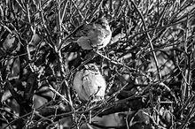 Sparrows%20on%20a%20Bush%20on%20a%20wint