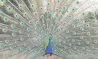 peacock-3381277_1920_edited_edited.jpg