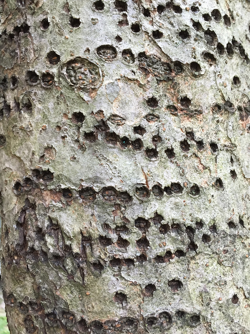 At first glance someone untrained in the ornithological sciences might consider this tree as virus-ridden, which it was - by woodpeckers!