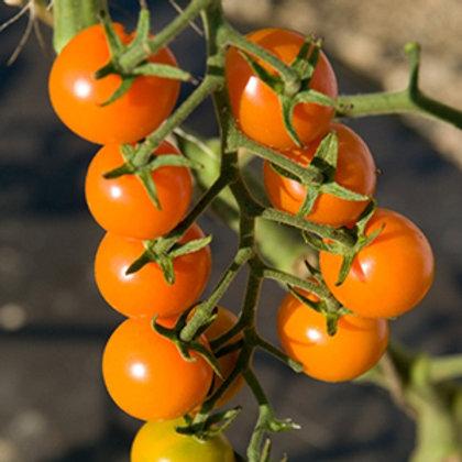 'Sun Gold' Cherry Tomato
