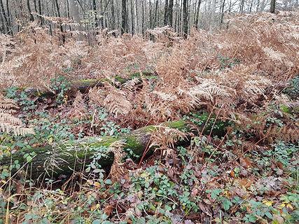 Forêt_arbres_sous_fougère.jpg