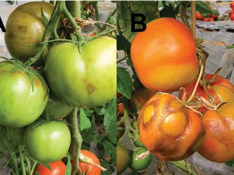 Mexico tomato troubles affect campus