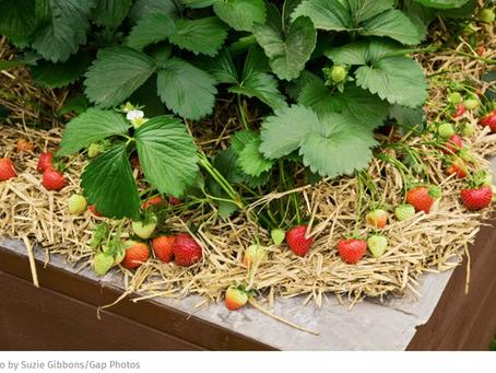 L'automne arrive , plantez vos fraisiers