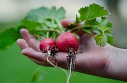 bioclimakit_radis_légume_potager_jardin