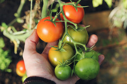 Bioclimakit réussir tomate jardin potage