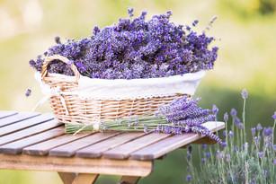 Harvesting of lavender. A basket filled